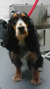 Engelse Cocker Spaniel Droef
